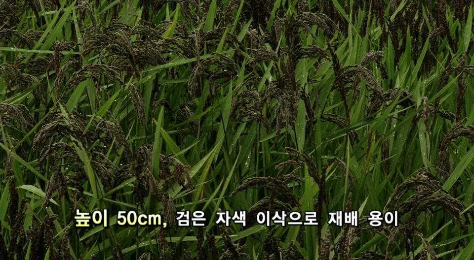 [CNi NEWS]벼의 화려한 변신!