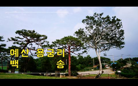 충남 예산 용궁리 백송 200년 수령의 천연기념물 제106호