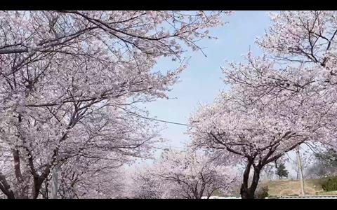 드라이브스루로 보령 주산벚꽃길을 즐겨요