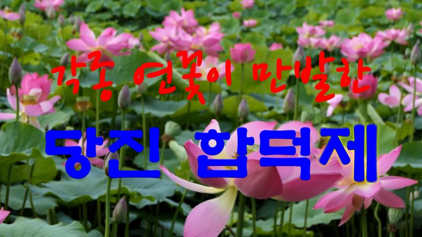 각종 연꽃이 만발한 당진 합덕제